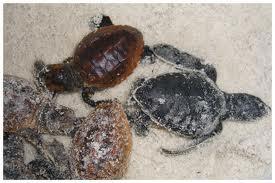 South Walton Turtle Season