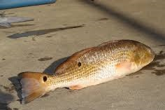 2016 redfish guidelines