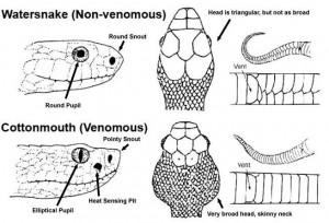 30A Venomous snakes